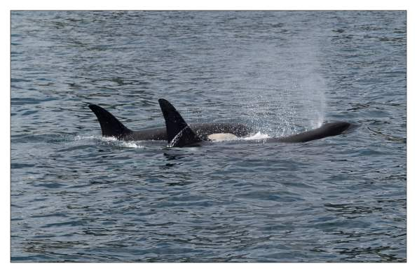 Orcas in der Resurrection Bay, Seward